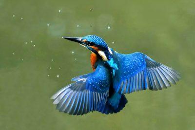 Ein_Eisvogel_im_Schwebflug
