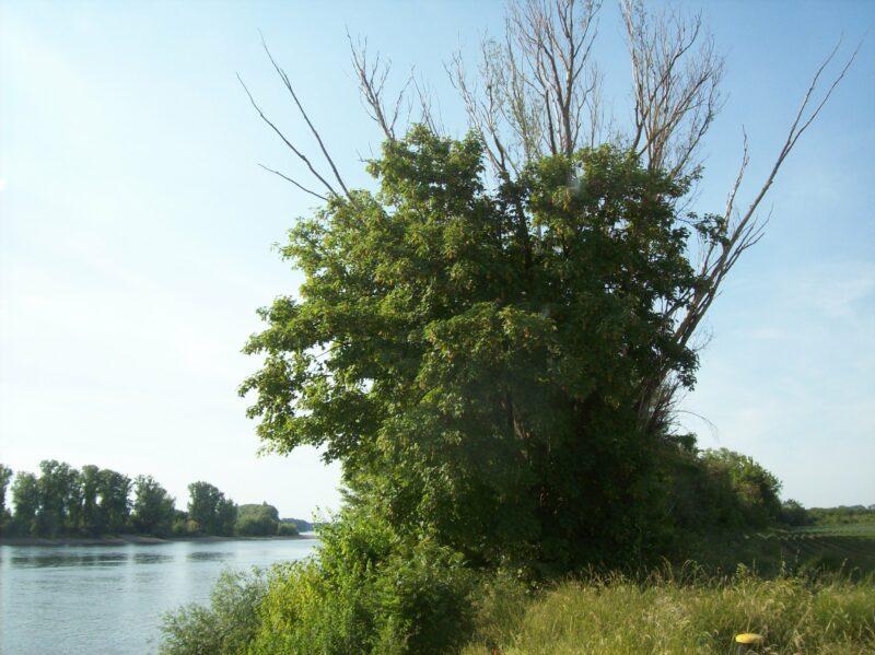Kranker Baum am Rheinufer